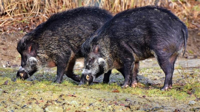 Wild pig attractants